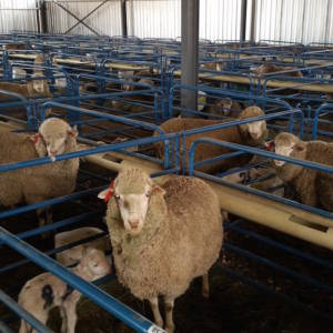 Agricultural Sheep Shed Housing