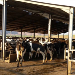 Cattle-Feed-Pad-Structure-Design