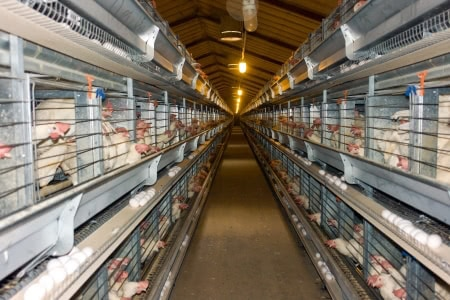 Poultry Houses | Broiler Houses | Layer Units | Rigtech Steel Structures